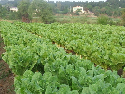 celtuce stem plants